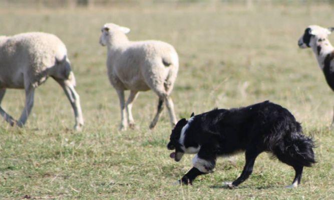 AB Herding Dog Rescue