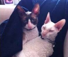 Cornish Rex Friends
