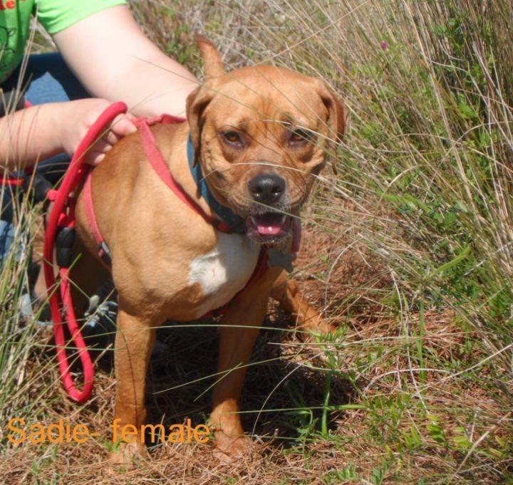 Sadie- Boxer/hound