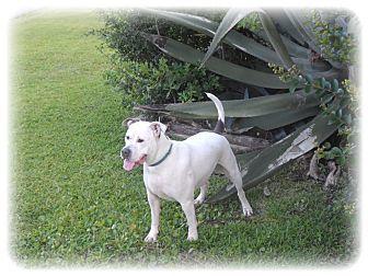 Hercules- Pit Bull/ Bull dog