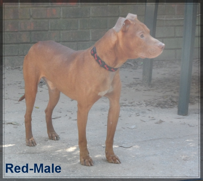 Red- Red nose Pit/Lab