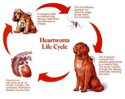 Fact: Heart Worms KILL