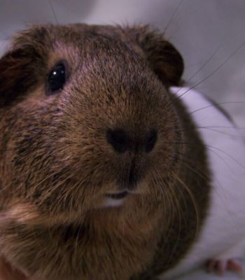 Who doesn't love guinea pig noses?