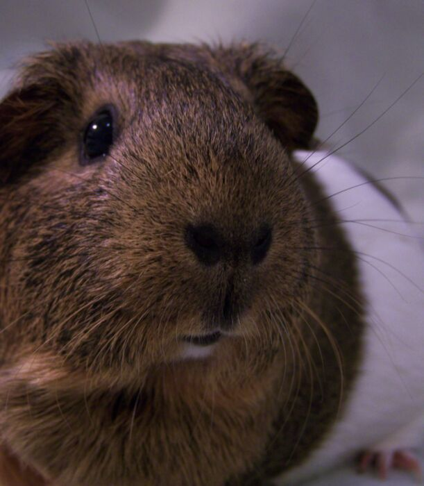 The Critter Corral Guinea Pig Rescue