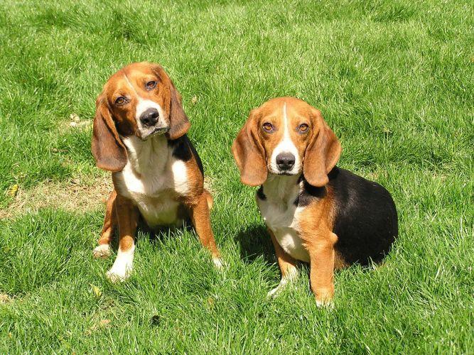 Hokie's Hounds Beagle Rescue