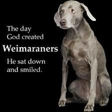Pets for Adoption at Great Lakes Weimaraner Rescue, Inc ...