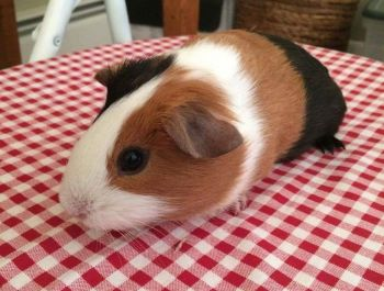 Emmy the guinea pig was adopted in 2017.