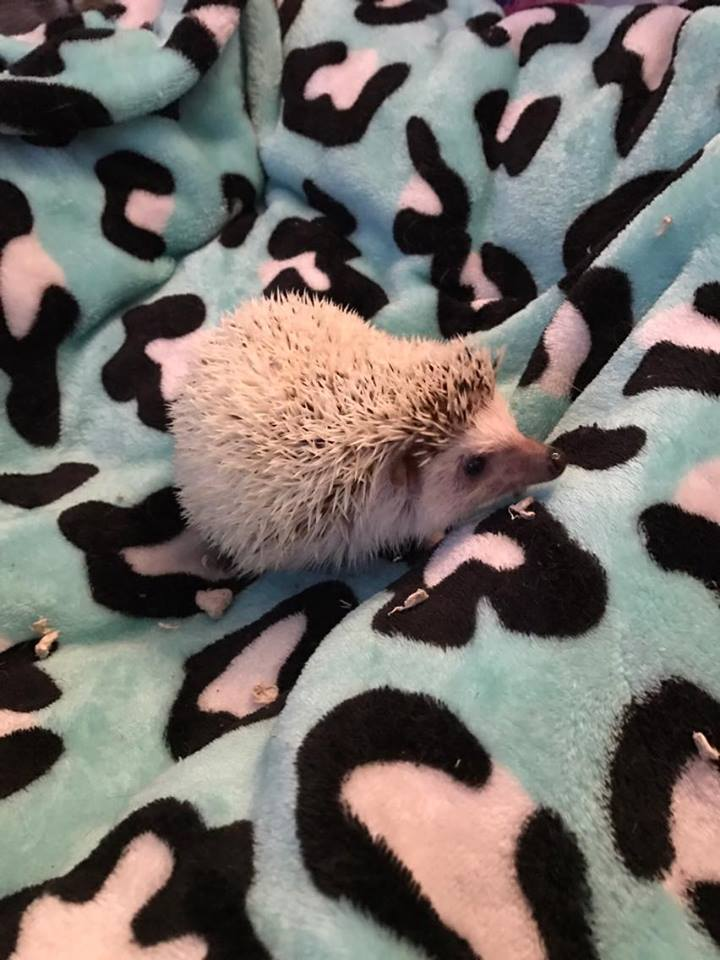Rufio the hedgehog was adopted in 2017.