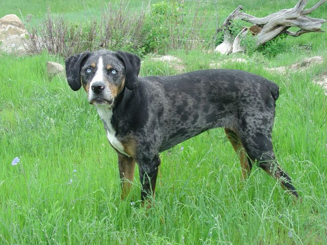 Janeen's Catahoula Leopard Dog Rescue Inc