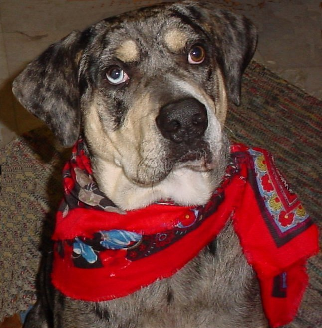 BLUEJEANS: Purebred Adopted from Louisiana