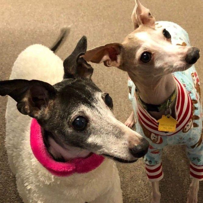 Nebraska & Iowa Italian Greyhound Rescue (IGRF)