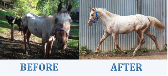 Beauty, a rescued appaloosa mare and now alumni