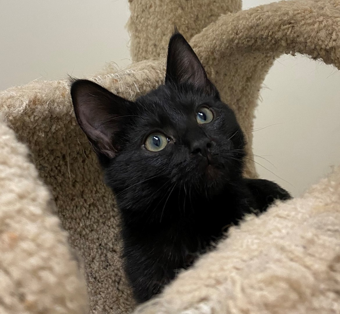 Pepper - FELV kitten needs a home!
