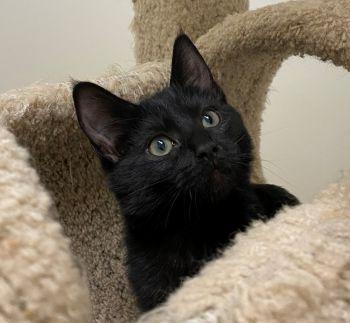 Pepper - FELV kitten needs a home!