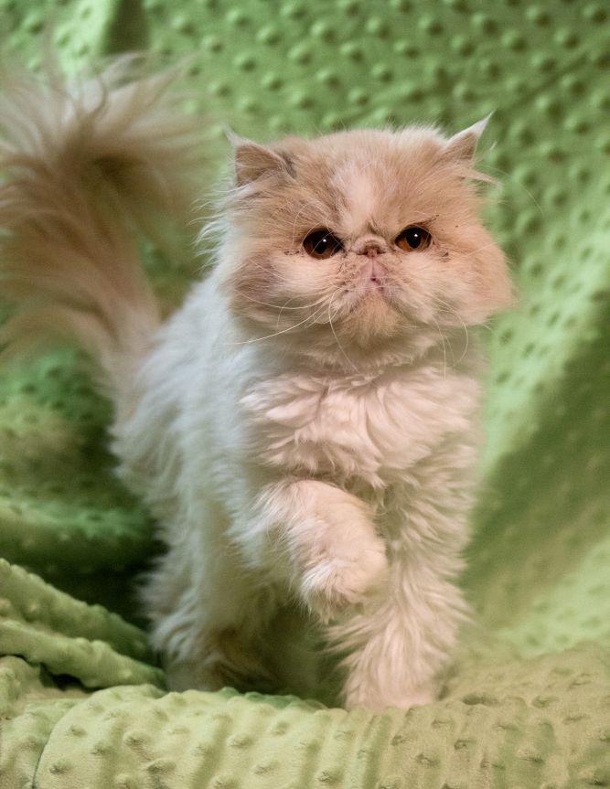 Persian Purebred Purrbaby Rescue