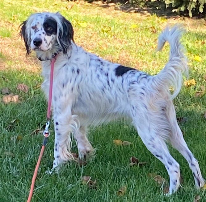 Our English Setter Rescue