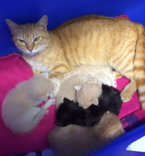 Rescued stray mom - kittens born at ARF