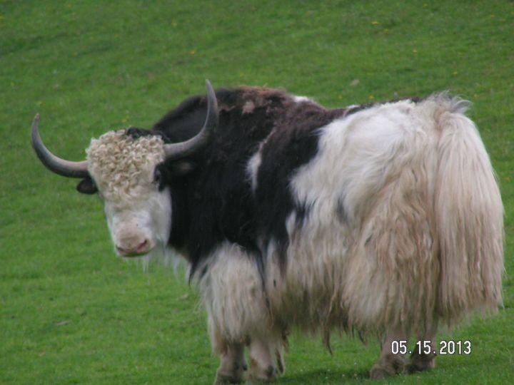 Chitto, Tibetan yak