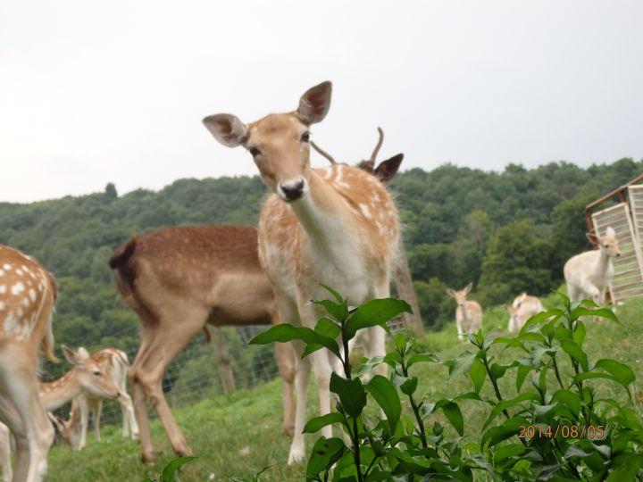 Spirit, fallow deer