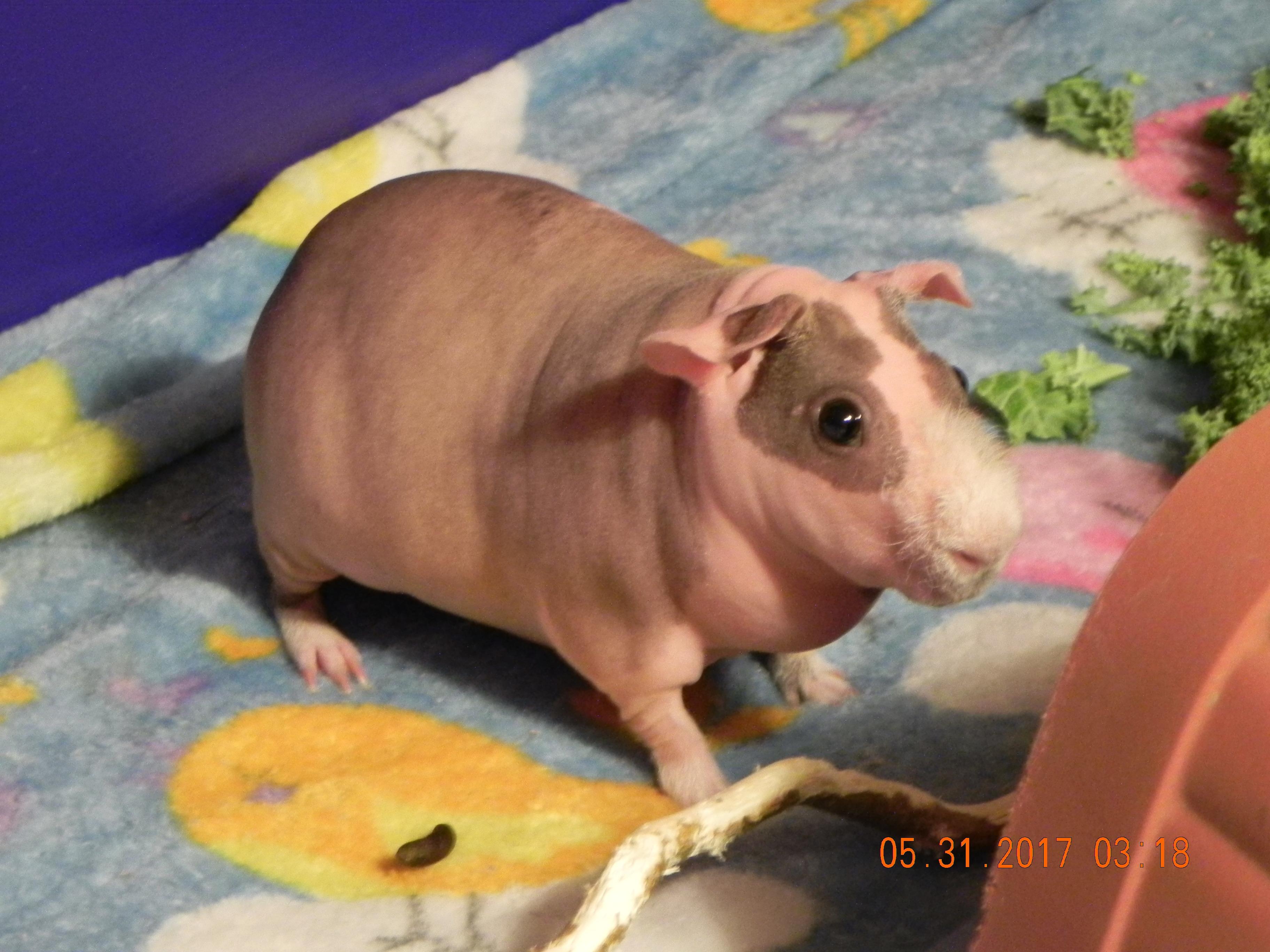 Teddy, skinny pig