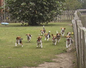 Beagles to the Rescue
