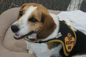 Adopt a BTTR Beagle