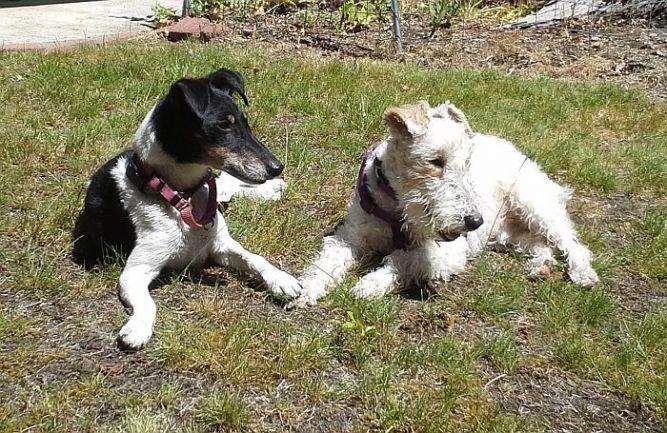 Fox Terrier Fanciers of Puget Sound Rescue
