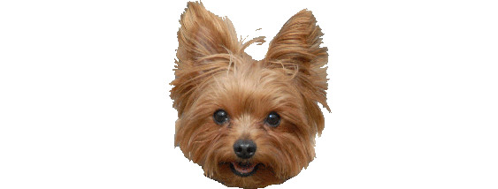 Pets For Adoption At Yorkie Rescue Houston In Spring Tx Petfinder