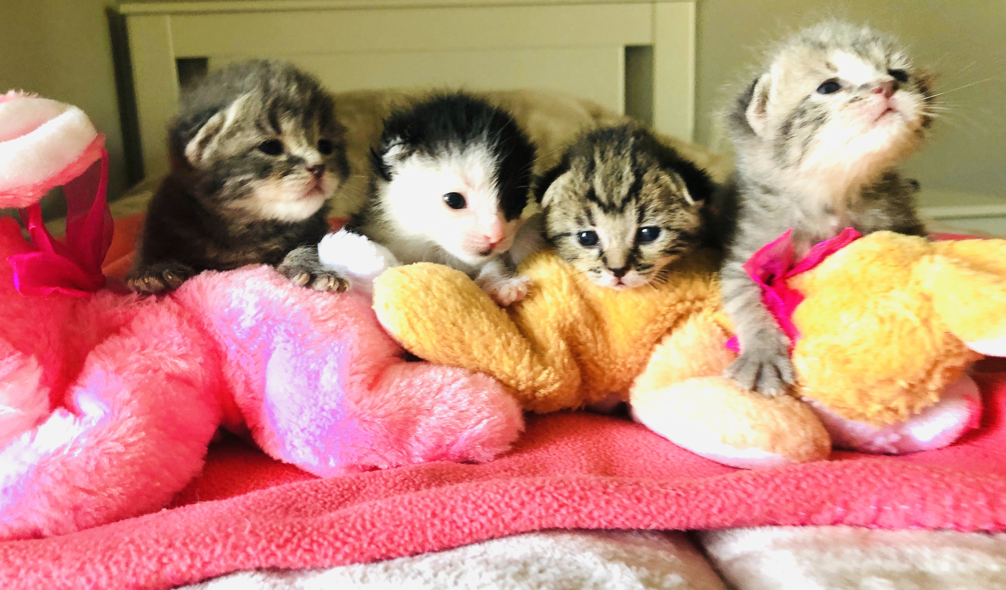 Pets For Adoption At Furrever Cat And Kitten Rescue In Campbell Ca Petfinder