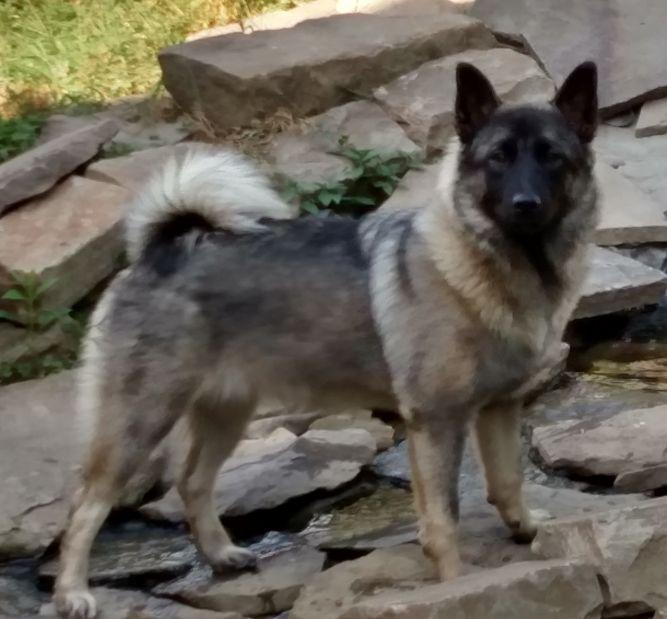 Four Paws Elkhound Rescue
