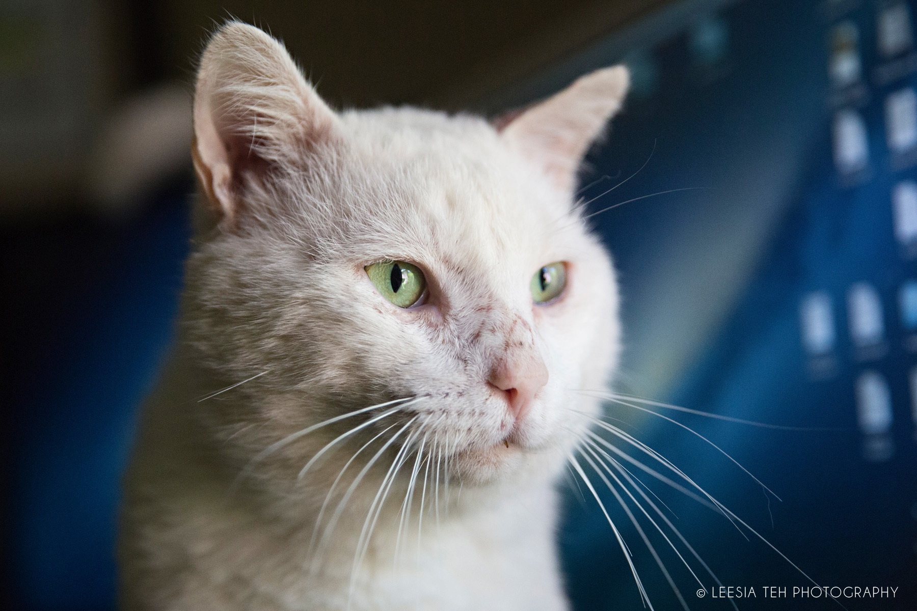 Stunning tomcat Biscuit is ready to live indoors.