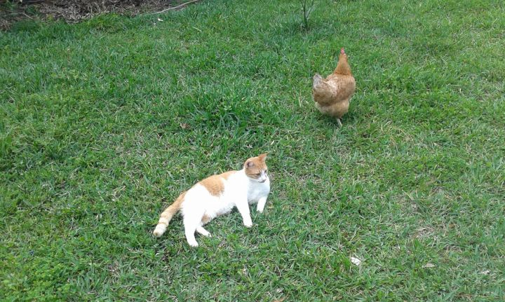 Bodhi Cat enjoys hanging with the chickens!
