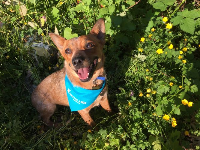Pacific Northwest Cattle Dog Rescue