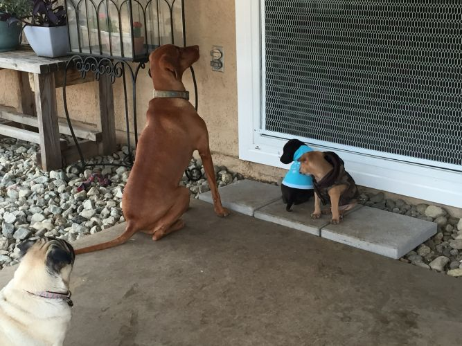 Bubba's Hug a Pug Rescue