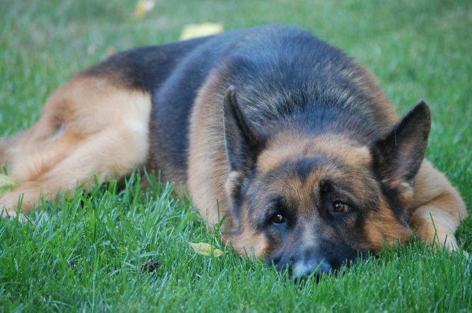 Trained Dogs for Adoption, Inc