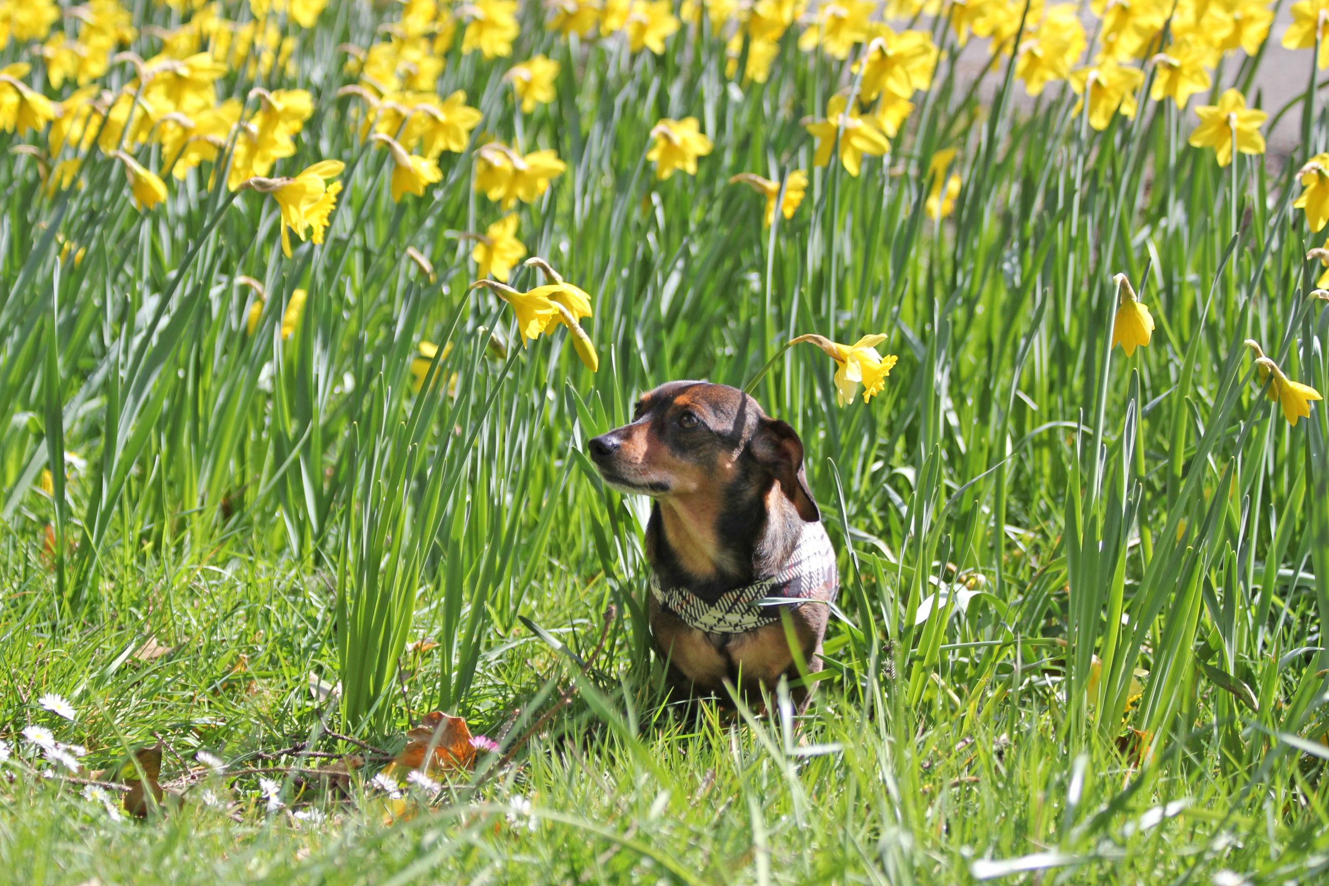 Portland Dachshund Rescue's Spokes dog Hank
