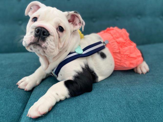Austin Bulldog Rescue