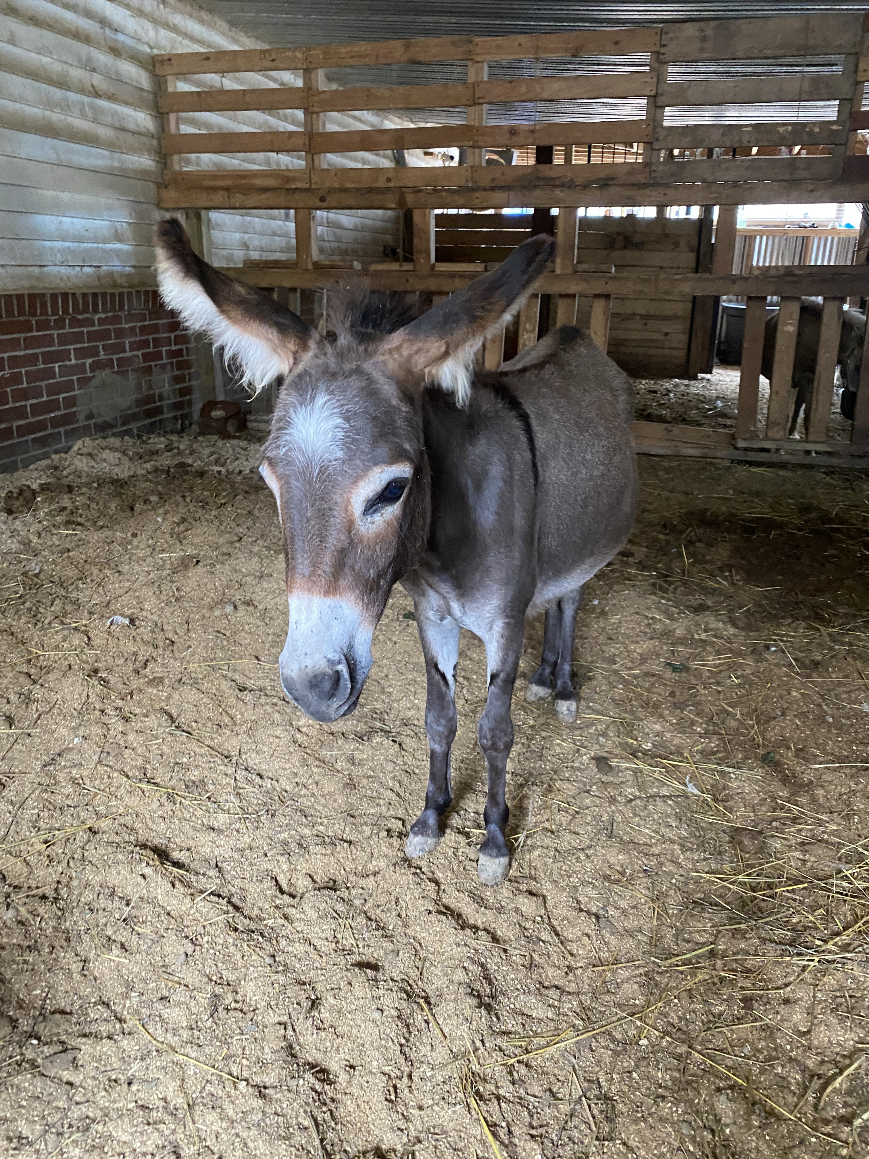 Esther the mini donkey