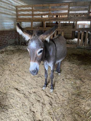 Esther the mini donkey