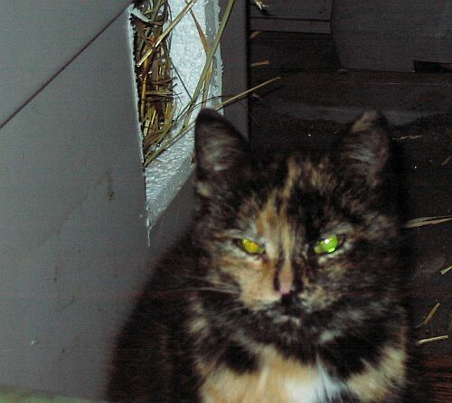 Taffy, an adopted Tortoiseshell Mix in Ottawa, ON