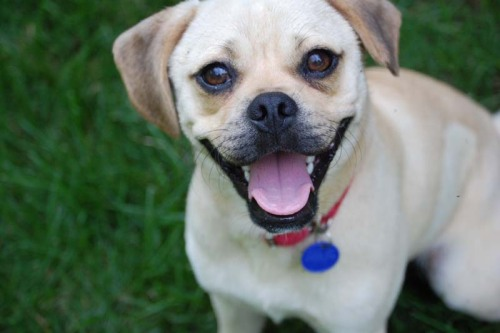 Sandy, an adopted Beagle & Pug Mix in San Diego, CA