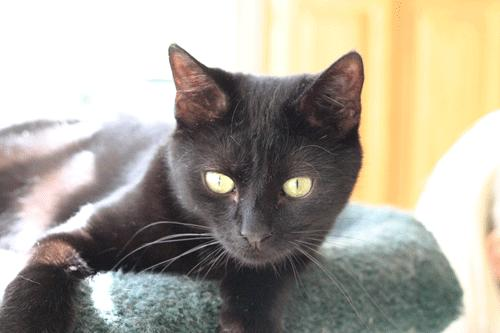Digits, an adoptable Domestic Short Hair Mix in Clifton, NJ