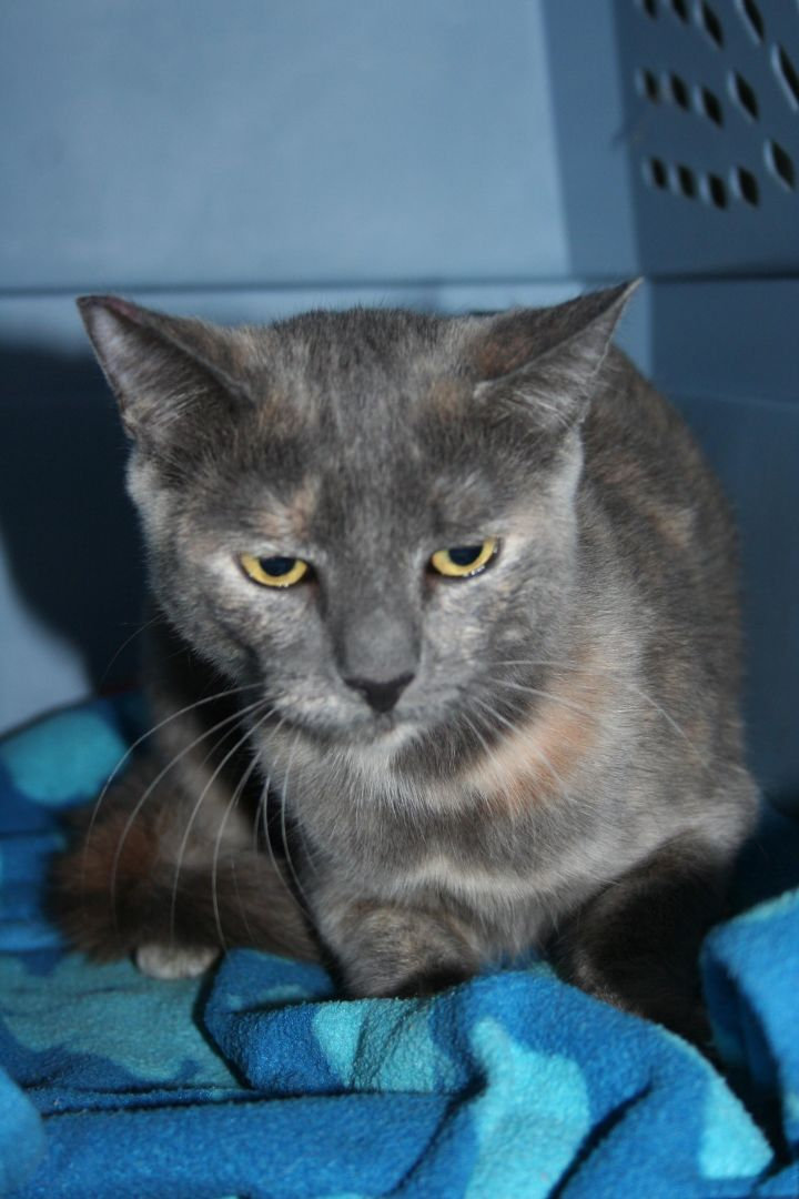 Cat for adoption - Barn Home Cats, a Domestic Short Hair ...