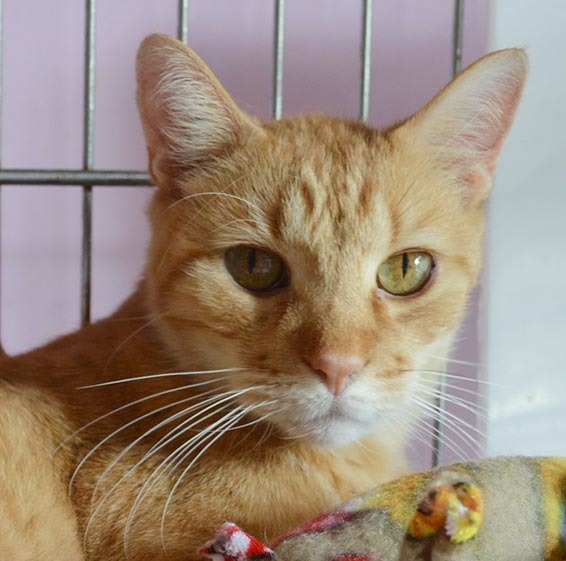 Vivaldi, an adoptable Domestic Short Hair & Tabby Mix in Parkville, MO