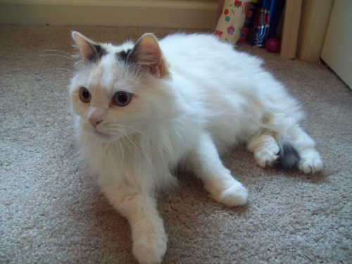 Tinkerbell, an adopted Turkish Angora & Domestic Long Hair Mix in Tallahassee, FL