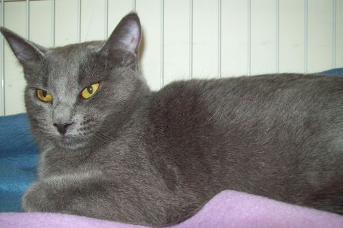 Lala, an adopted Russian Blue Mix in Tallahassee, FL