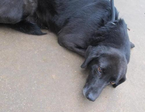 HOWIE, an adopted Black Labrador Retriever & Terrier Mix in Salem, MO