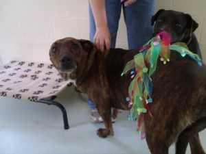 Brandy American Staffordshire Terrier Dog