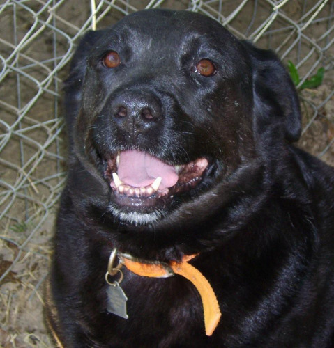 Blackie, an adopted Black Labrador Retriever Mix in Tallahassee, FL