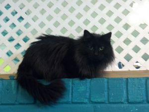 Shelly Domestic Long Hair Cat